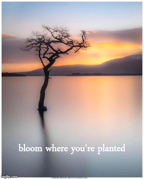 If this tree can bloom here, you can thrive where you are. |  bloom where you're planted | image tagged in milarrochy lone tree,positive thinking,positivity,stay positive,tree,growing up | made w/ Imgflip meme maker