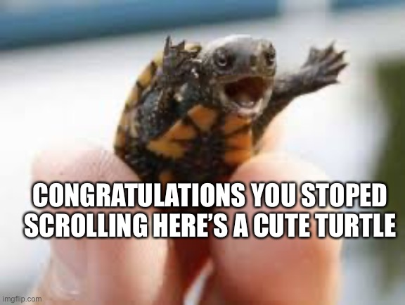 Congrats |  CONGRATULATIONS YOU STOPED SCROLLING HERE'S A CUTE TURTLE | image tagged in turtle | made w/ Imgflip meme maker