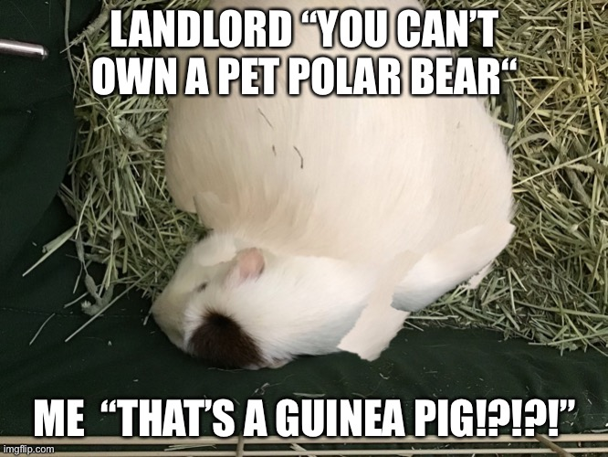 "Polerbear |  LANDLORD ""YOU CAN'T OWN A PET POLAR BEAR""; ME  ""THAT'S A GUINEA PIG!?!?!"" 