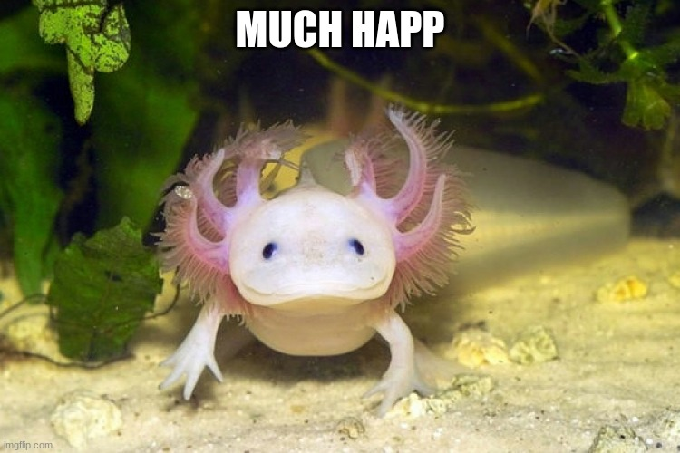 Axolotl | MUCH HAPP | image tagged in axolotl | made w/ Imgflip meme maker