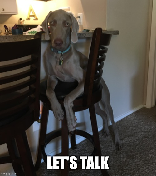 Casual weim |  LET'S TALK | image tagged in weimaraner,weim,funny | made w/ Imgflip meme maker