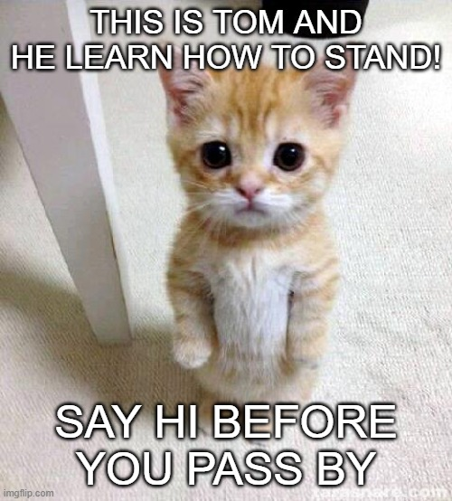 say hi to tom |  THIS IS TOM AND HE LEARN HOW TO STAND! SAY HI BEFORE YOU PASS BY | image tagged in memes,cute cat | made w/ Imgflip meme maker