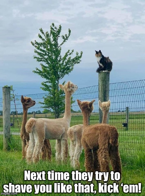 Leader of the Rebellion |  Next time they try to shave you like that, kick 'em! | image tagged in funny memes,funny cat memes,funny,cats,alpacas | made w/ Imgflip meme maker