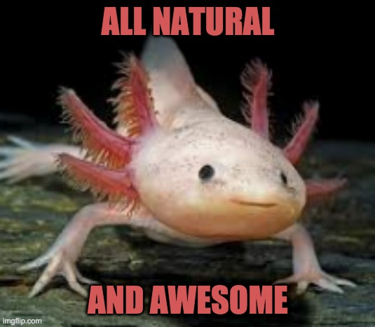 amazing amphibian |  ALL NATURAL; AND AWESOME | image tagged in axolotl,cute,amphibian,endangered | made w/ Imgflip meme maker