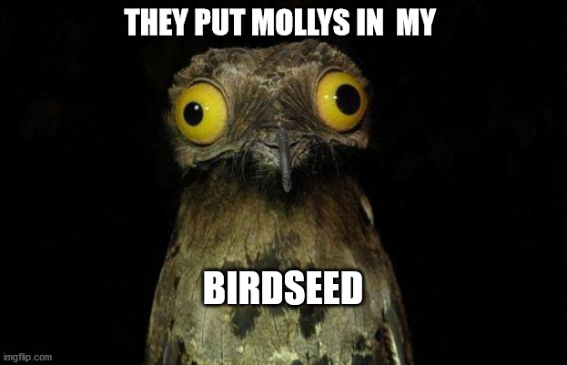 Weird Stuff I Do Potoo Meme |  THEY PUT MOLLYS IN  MY; BIRDSEED | image tagged in memes,weird stuff i do potoo | made w/ Imgflip meme maker