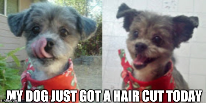 MY DOG JUST GOT A HAIR CUT TODAY | image tagged in dogs,cute,happy | made w/ Imgflip meme maker