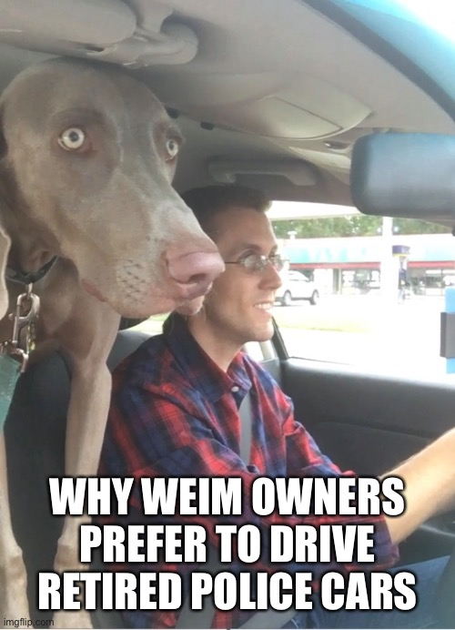 Driving with a weim |  WHY WEIM OWNERS PREFER TO DRIVE RETIRED POLICE CARS | image tagged in weim,weimaraner,dog,funny,drive,car | made w/ Imgflip meme maker