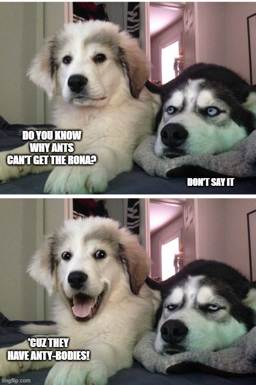 Bad pun dogs |  DO YOU KNOW WHY ANTS CAN'T GET THE RONA? DON'T SAY IT; 'CUZ THEY HAVE ANTY-BODIES! | image tagged in bad pun dogs | made w/ Imgflip meme maker