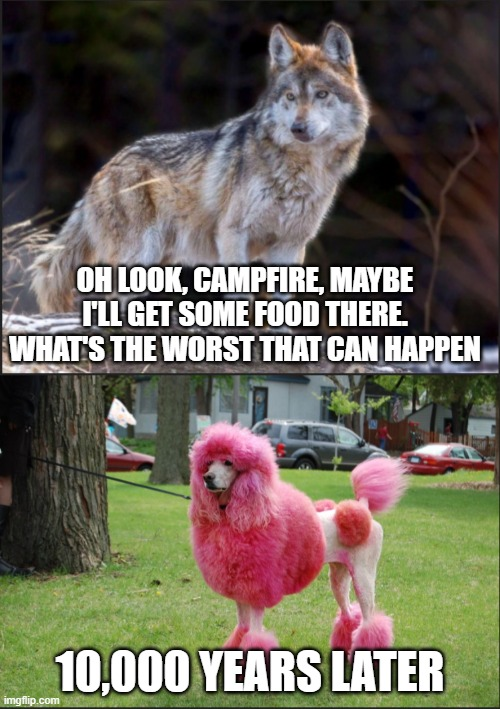 wolf |  OH LOOK, CAMPFIRE, MAYBE I'LL GET SOME FOOD THERE. WHAT'S THE WORST THAT CAN HAPPEN; 10,000 YEARS LATER | image tagged in wolf,dog,campfire | made w/ Imgflip meme maker