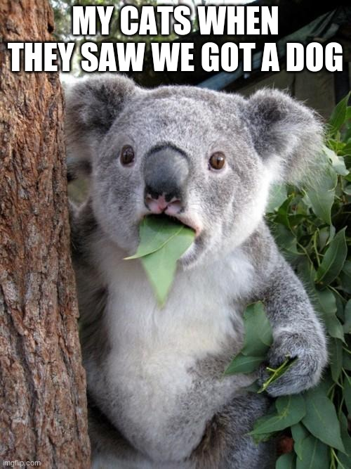 Surprised Koala |  MY CATS WHEN THEY SAW WE GOT A DOG | image tagged in memes,surprised koala | made w/ Imgflip meme maker