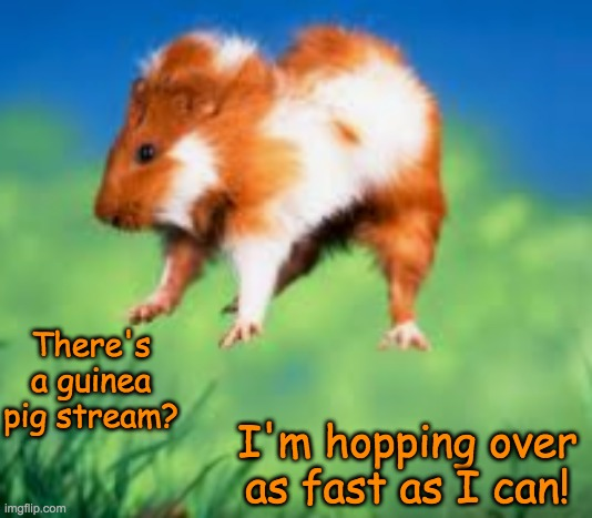 So excited I dropped my lettuce |  There's a guinea pig stream? I'm hopping over as fast as I can! | image tagged in guinea pig,cute,excited | made w/ Imgflip meme maker