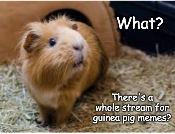 Fuzzy up your day, every day (see link in comments) |  What? There's a whole stream for guinea pig memes? | image tagged in guinea pig,cute,excited | made w/ Imgflip meme maker