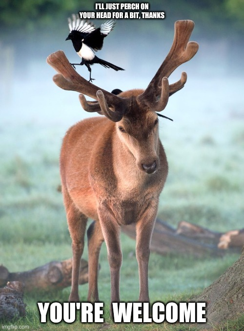 Bird On A Deer's Antlers, Deer Says You're Welcome |  I'LL JUST PERCH ON YOUR HEAD FOR A BIT, THANKS; YOU'RE  WELCOME | image tagged in deer,bird,magpie,corvid,you're welcome,antlers | made w/ Imgflip meme maker