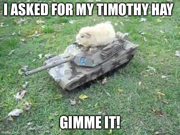 Guinea Pig Tank |  I ASKED FOR MY TIMOTHY HAY; GIMME IT! | image tagged in guinea pig tank,timothy hay,guinea pig,cute | made w/ Imgflip meme maker