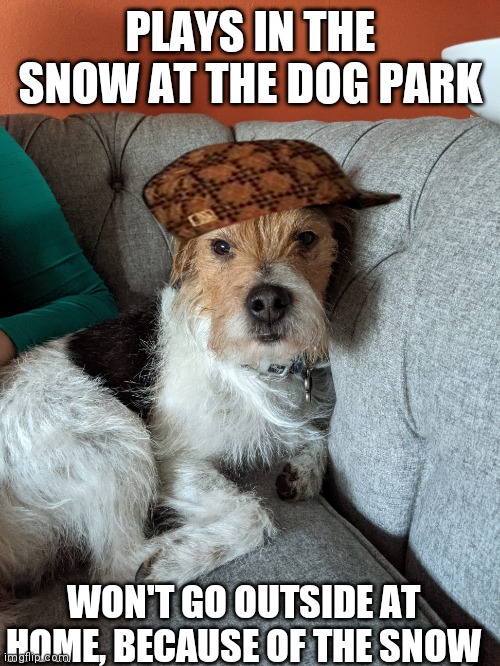 Gus the little douchebag |  PLAYS IN THE SNOW AT THE DOG PARK; WON'T GO OUTSIDE AT HOME, BECAUSE OF THE SNOW | image tagged in douchebag,dog,dog memes | made w/ Imgflip meme maker