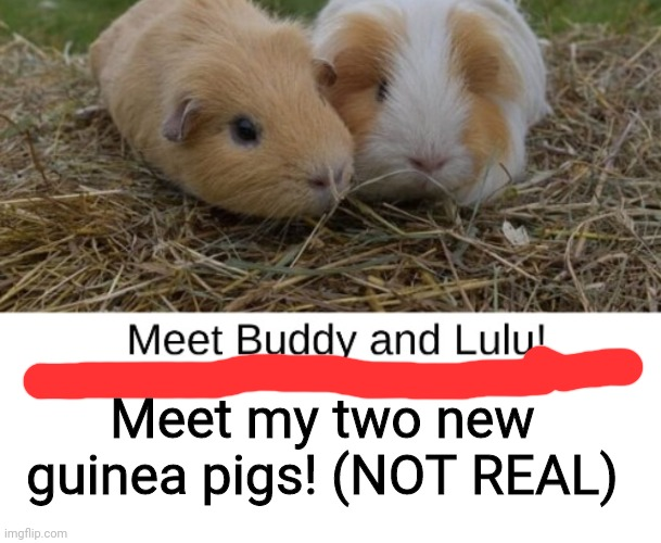 :D |  Meet my two new guinea pigs! (NOT REAL) | image tagged in blank white template | made w/ Imgflip meme maker