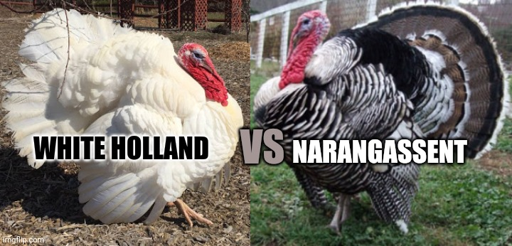 NARANGASSENT; VS; WHITE HOLLAND | image tagged in turkey,turkey day | made w/ Imgflip meme maker