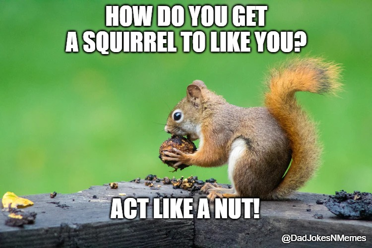 Sometimes you feel like a nut. |  HOW DO YOU GET A SQUIRREL TO LIKE YOU? ACT LIKE A NUT! @DadJokesNMemes | image tagged in squirrel,nuts | made w/ Imgflip meme maker