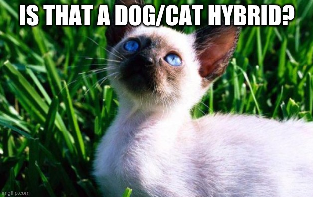 cat looking at sky | IS THAT A DOG/CAT HYBRID? | image tagged in cat looking at sky | made w/ Imgflip meme maker