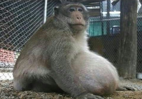 Pregnant monke | image tagged in monke | made w/ Imgflip meme maker