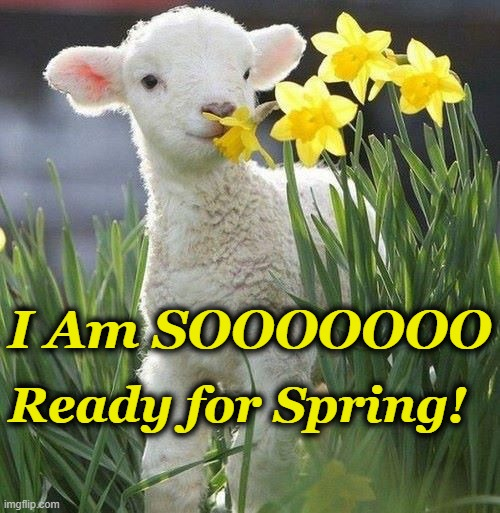 I Am SOOOOOOO; Ready for Spring! | image tagged in spring,lamb,daffodils | made w/ Imgflip meme maker