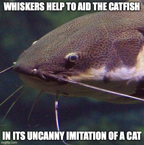 Catfish |  WHISKERS HELP TO AID THE CATFISH; IN ITS UNCANNY IMITATION OF A CAT | image tagged in catfish,memes | made w/ Imgflip meme maker