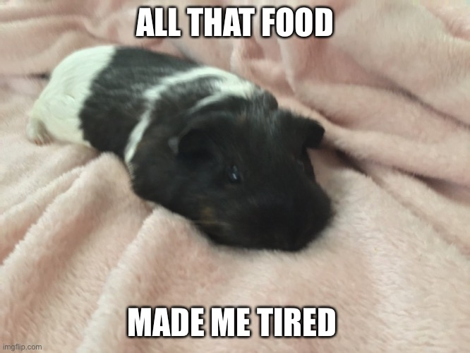 This is my guinea pig btw! |  ALL THAT FOOD; MADE ME TIRED | image tagged in guinea pig,fun | made w/ Imgflip meme maker