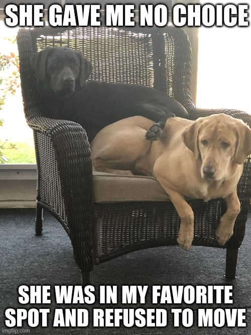 Gemma steals sister Luna's fav spot Luna turns into mad doggo >:( |  SHE GAVE ME NO CHOICE; SHE WAS IN MY FAVORITE SPOT AND REFUSED TO MOVE | image tagged in mad dog,doggo,doggos,dogs | made w/ Imgflip meme maker