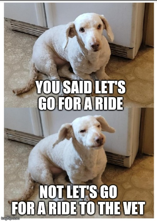 Not the vet |  YOU SAID LET'S GO FOR A RIDE; NOT LET'S GO FOR A RIDE TO THE VET | image tagged in skadi the stumpy puppy,dog memes,cuteness,funnymemes,dissapointed puppy,disappointed dog | made w/ Imgflip meme maker