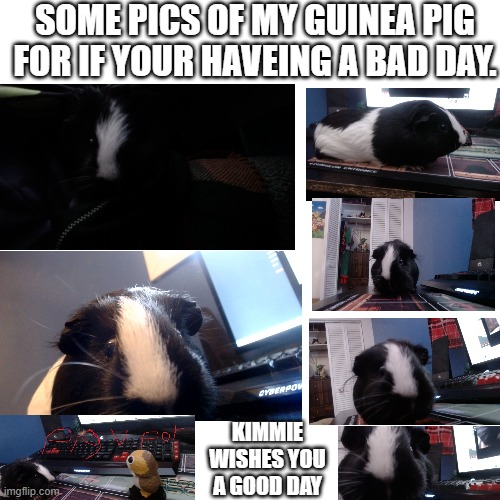 a good day from kimmie. |  SOME PICS OF MY GUINEA PIG FOR IF YOUR HAVEING A BAD DAY. KIMMIE WISHES YOU A GOOD DAY | image tagged in memes,blank transparent square,wholesome,guinea pig,cute | made w/ Imgflip meme maker