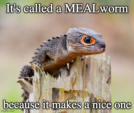 The red-eyed crocodile skink |  It's called a MEALworm; because it makes a nice one | image tagged in cute lizard,cute,lizard,food | made w/ Imgflip meme maker