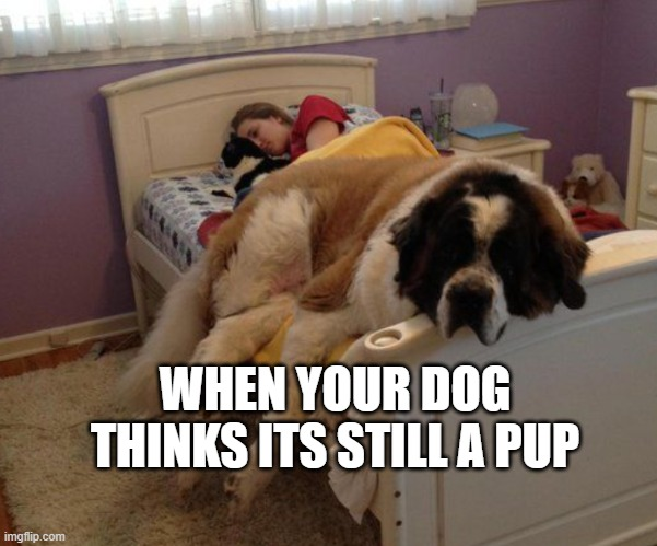 big dog or small bed? |  WHEN YOUR DOG THINKS ITS STILL A PUP | image tagged in big dog or small bed | made w/ Imgflip meme maker