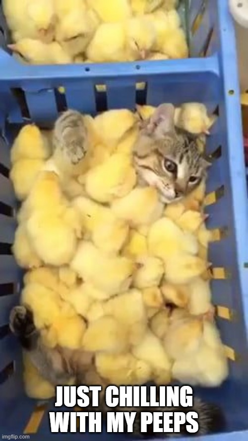 Peeps |  JUST CHILLING WITH MY PEEPS | image tagged in funny cats,chicks | made w/ Imgflip meme maker
