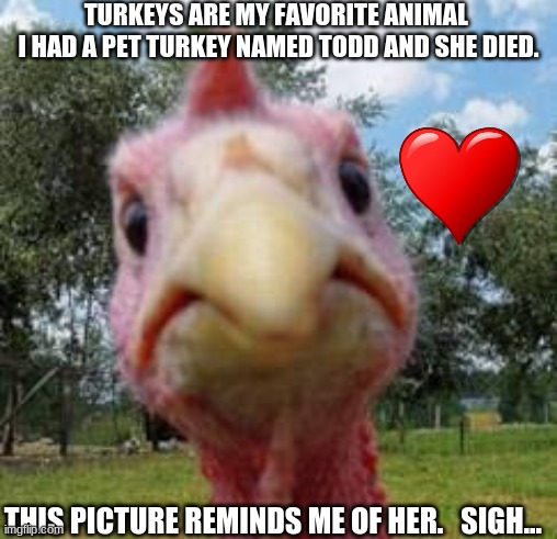 turkey |  TURKEYS ARE MY FAVORITE ANIMAL  I HAD A PET TURKEY NAMED TODD AND SHE DIED. THIS PICTURE REMINDS ME OF HER.   SIGH... | image tagged in turkey | made w/ Imgflip meme maker