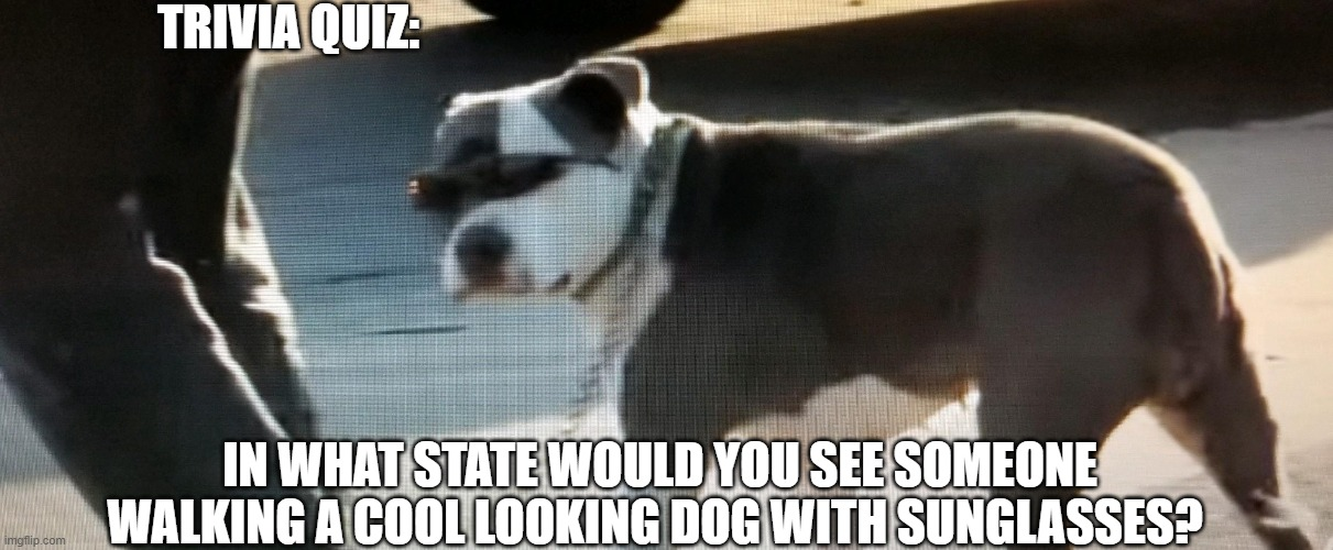Dog |  TRIVIA QUIZ:; IN WHAT STATE WOULD YOU SEE SOMEONE WALKING A COOL LOOKING DOG WITH SUNGLASSES? | image tagged in cool dog,dogs pets funny,pet humor,sunglasses,bad boy,dog walking | made w/ Imgflip meme maker