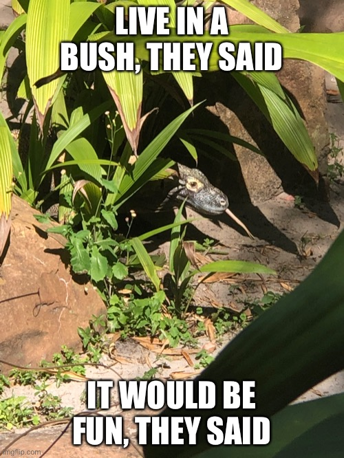 Bitter Lizard |  LIVE IN A BUSH, THEY SAID; IT WOULD BE FUN, THEY SAID | image tagged in lizard,funny animals | made w/ Imgflip meme maker