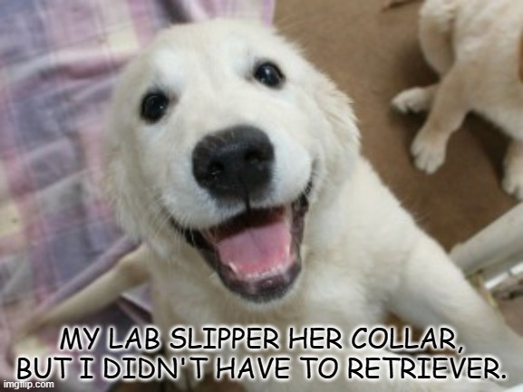 Bad Dad Joke April 8 2021 |  MY LAB SLIPPER HER COLLAR, BUT I DIDN'T HAVE TO RETRIEVER. | image tagged in excited labrador | made w/ Imgflip meme maker