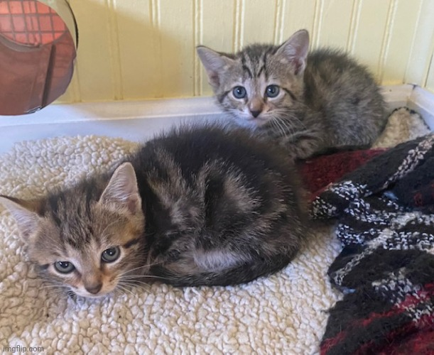 Two cute kittens that we found :3 They are about 5 weeks old now and are so cute <3 | image tagged in cats,kitten,kitty,cat,cute,adorable | made w/ Imgflip meme maker