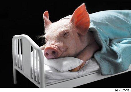Animal Farm Napoleon Sleeping In The Bed