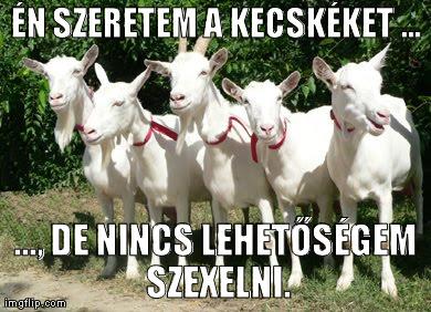 Én szeretem a kecskéket, de nincs lehetőségem szexelni. Kecskék.