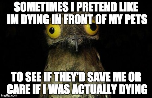 Weird Stuff I Do Potoo Meme | SOMETIMES I PRETEND LIKE IM DYING IN FRONT OF MY PETS TO SEE IF THEY'D SAVE ME OR CARE IF I WAS ACTUALLY DYING | image tagged in memes,weird stuff i do potoo,AdviceAnimals | made w/ Imgflip meme maker