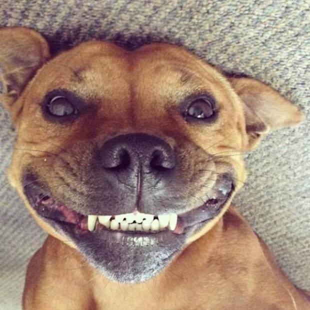 Dog smiling meme - photo#2