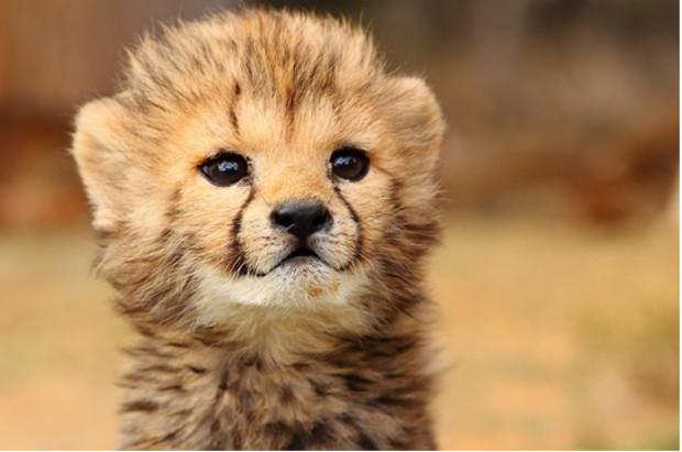 Wtf Cheetah Meme Generator Imgflip