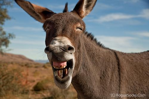 Image result for donkey braying