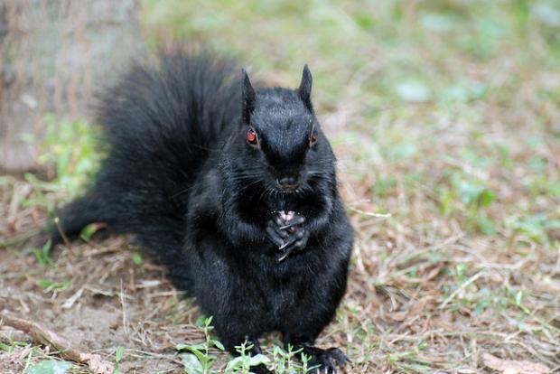 evil squirrel Blank Template - Imgflip