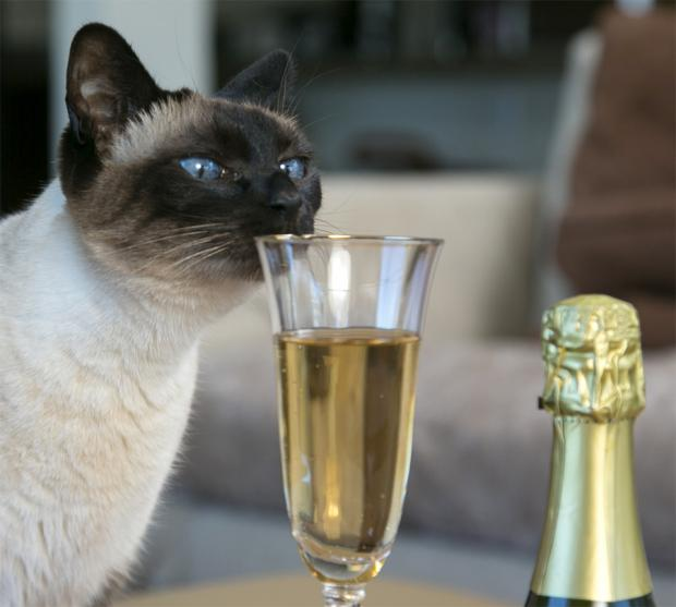 cat with champagne flute Blank Template - Imgflip