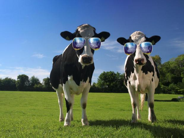 cool cows Blank Meme Template