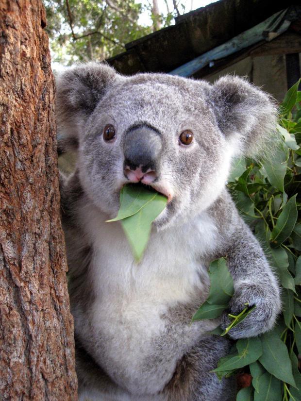 Surprised Koala Bear Blank Template - Imgflip