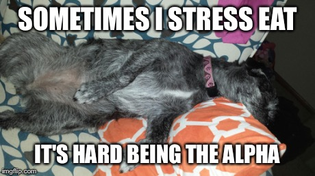 Alpha pug | SOMETIMES I STRESS EAT IT'S HARD BEING THE ALPHA | image tagged in cute,dogs | made w/ Imgflip meme maker