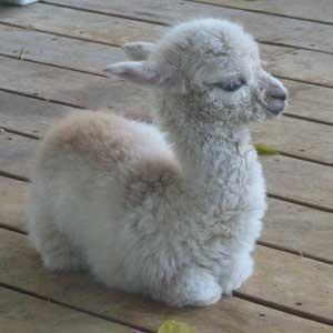 baby llama blank template imgflip